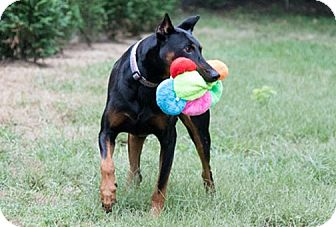 Doberman Pinscher Dog for adoption in Greensboro, North Carolina - SLATER