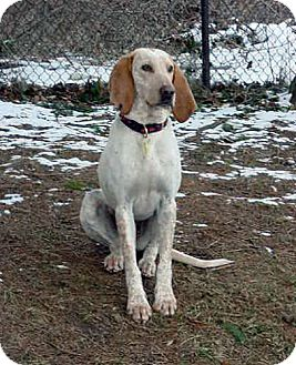 Foxhound/Hound (Unknown Type) Mix Dog for adoption in Ontario, Ontario - Violet-ADOPTED!