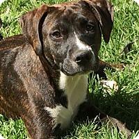 Adopt A Pet :: Nutmeg - Houston, TX