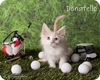 Domestic Longhair Kitten for adoption in Scottsdale, Arizona - Donatello