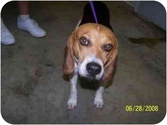 Beagle Mix Dog for adoption in Shelbyville, Kentucky - Alex