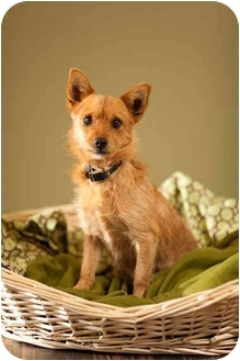 Norwich Terrier Mix Dog for adoption in Portland, Oregon - Gigi