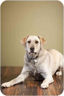 Labrador Retriever/Alaskan Malamute Mix Dog for adoption in Portland, Oregon - Smokey
