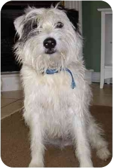Jack Russell Terrier Dog for adoption in Thomasville, North Carolina - Henry