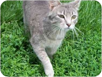 Domestic Shorthair Cat for adoption in Lexington, Missouri - Jessica