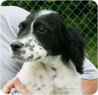 English Setter Mix Dog for adoption in Spring Valley, New York - Annie