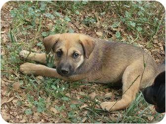 German Shepherd Dog/Labrador Retriever Mix Puppy for adoption in Alliance, Ohio - Shep Mix Pup