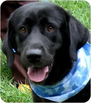 Labrador Retriever Dog for adoption in Wakefield, Rhode Island - MISS MOLLY(SMART-GENTLE-LOVIN)