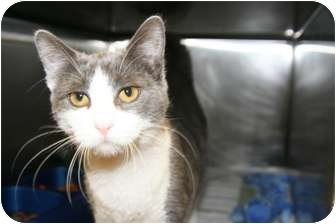 Domestic Shorthair Cat for adoption in Islip, New York - Nasally