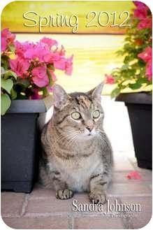 Domestic Shorthair Cat for adoption in Orlando, Florida - Toni