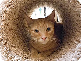 Domestic Shorthair Cat for adoption in Chandler, Arizona - Scamp