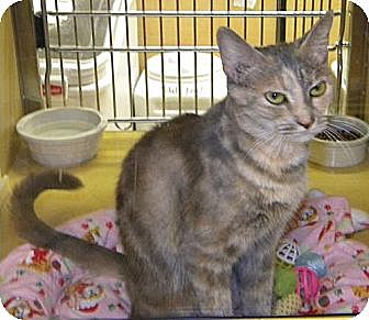 Domestic Shorthair Cat for adoption in Miami, Florida - Mookie