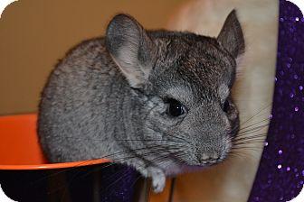 Chinchilla for adoption in Lindenhurst, New York - Brock
