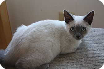 Siamese Kitten for adoption in Fallon, Nevada - Basho