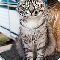 Adopt A Pet :: Mr. Loki - Shelton, WA