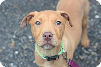 American Pit Bull Terrier Mix Puppy for adoption in Reisterstown, Maryland - Carlita