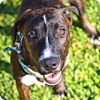 Adopt A Pet :: Booker - La Habra, CA