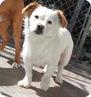 Corgi/Spaniel (Unknown Type) Mix Dog for adoption in London, Ontario - Sparky