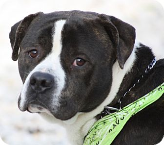 American Bulldog/Boxer Mix Dog for adoption in Newburgh, Indiana - Gizmo