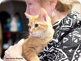 Domestic Shorthair Kitten for adoption in Knoxville, Tennessee - Scooter