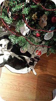 Domestic Shorthair Cat for adoption in Fredericksburg, Virginia - Sparky