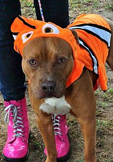 American Pit Bull Terrier Mix Dog for adoption in Hopewell, Virginia - DJ
