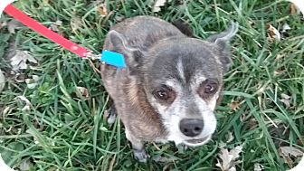 Chihuahua Mix Dog for adoption in Macomb, Illinois - Tuffy