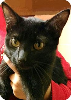 Domestic Shorthair Kitten for adoption in East Hartford, Connecticut - Hershey (in CT)