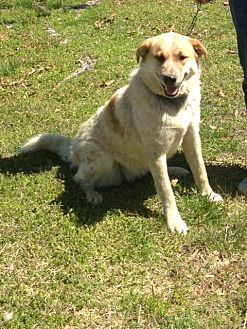 Great Pyrenees/Australian Cattle Dog Mix Dog for adoption in Hagerstown, Maryland - Freckles