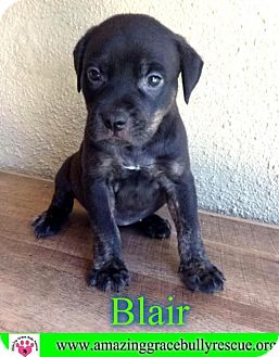 Hound (Unknown Type)/American Staffordshire Terrier Mix Puppy for adoption in Pensacola, Florida - Blair