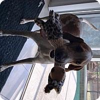 Adopt A Pet :: COOPER 2 - Playful and Fun! - DeLand, FL
