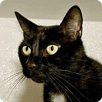 Domestic Shorthair Cat for adoption in Prescott, Arizona - Ramble