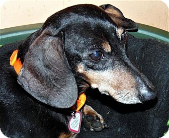 Dachshund Dog for adoption in Columbia, Tennessee - Lincoln in TN