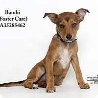 Adopt A Pet :: Bambi  (Foster Care) - Baton Rouge, LA