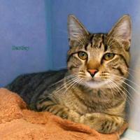 Adopt A Pet :: Bentley - Oskaloosa, IA