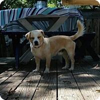 Adopt A Pet :: Raphael - Brooklyn Center, MN