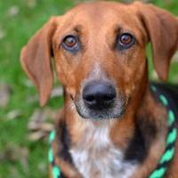 Adopt A Pet :: Sarsaparilla - Dayton, OH