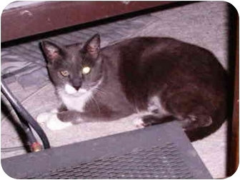 Domestic Shorthair Cat for adoption in Yorba Linda, California - Precious