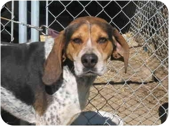 Bluetick Coonhound/Treeing Walker Coonhound Mix Dog for adoption in Hayden, Idaho - Dan