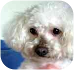 Maltese/Poodle (Miniature) Mix Dog for adoption in Long Beach, New York - Molly