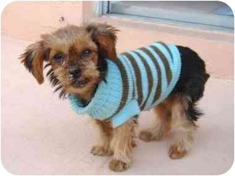 Yorkie, Yorkshire Terrier Puppy for adoption in West Palm Beach, Florida - Sandee