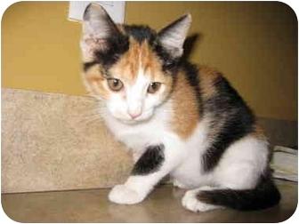 Domestic Shorthair Kitten for adoption in Houston, Texas - Leah Michelle