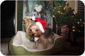 Yorkie, Yorkshire Terrier Dog for adoption in Houston, Texas - Beiber