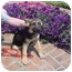 Photo 1 - German Shepherd Dog Mix Puppy for adoption in Grove City, Ohio - Keno