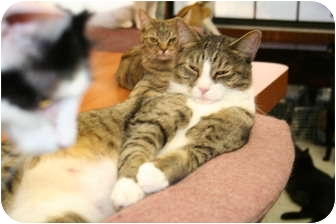 Domestic Shorthair Cat for adoption in Naples, Florida - Nala