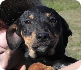 Chihuahua/Dachshund Mix Puppy for adoption in Foster, Rhode Island - Quincy