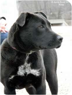 Labrador Retriever/American Pit Bull Terrier Mix Dog for adoption in St. James, Missouri - Abby