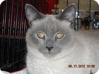 Siamese Cat for adoption in Riverside, Rhode Island - Sushi