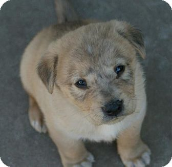 Golden Retriever/Husky Mix Puppy for adoption in Torrance, California - ZANE