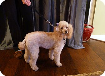 Poodle (Miniature) Dog for adoption in North Little Rock, Arkansas - Gabby